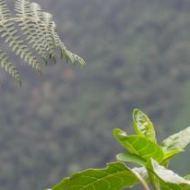 zoom in on leaves, Andes in Venezuela