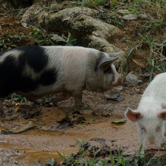 Pigs in Venezuela. Not plain at all.