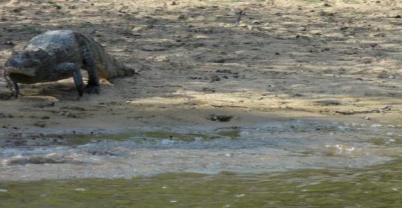 Crocs on the plains in Los Llanos