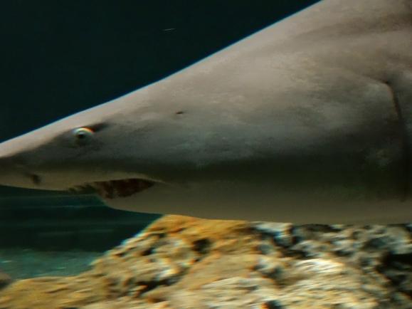 Up close shark