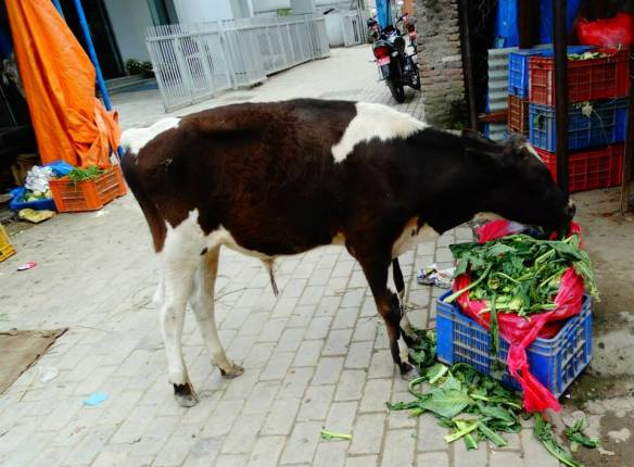 random cow in market