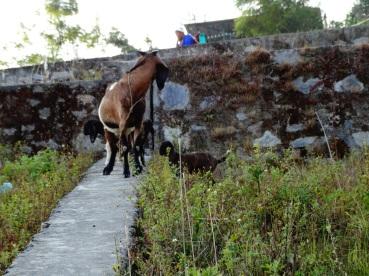 goats on slanted hill