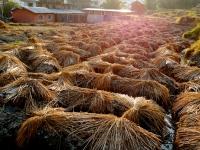 Sun glistening off of the wheat