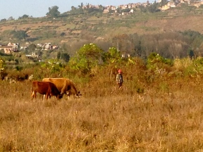 Cows in a field we were lost in