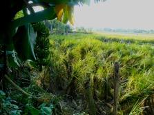 Bananas on the edge of a field Chitwan Nepal