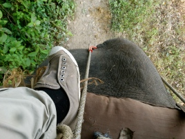 Back edge of an elephant - Chitwan